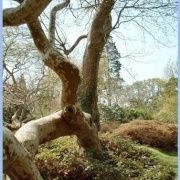 Tree shapes at Exbury Gardens