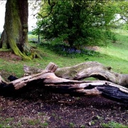 Winter Hill Cookham - a fallen tree