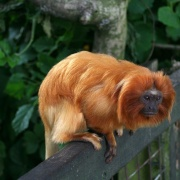 Golden Lion Tamarin, Marwell Zoo, Hampshire