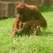 Orangutans at Chester Zoo, Chester, Cheshire.