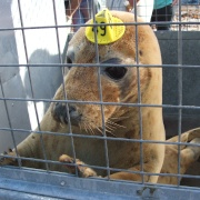 A rescued seal being released fit and healthy at Port Gaverne, Cornwall