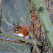 Red Squirrel eating a nut... -  -  - taken at Talkin Tarn country park