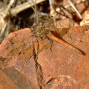 Common darter dragonfly....sympetrum striolatum