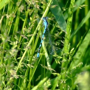 Common blue damselfly....enallagma cyathigerum