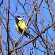 Great tit....parus major