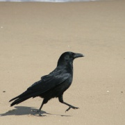 Carrion Crow doing the Goose Step on South Shield beach