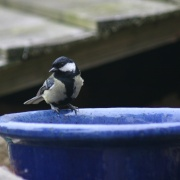 Great Tit on Flower Pot