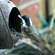 Coal Tit in my back garden.