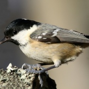 Coal Tit in the New Forest - Hampshire