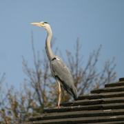 Heron on neighbours roof
