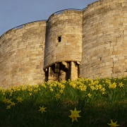Daffodils at Clifford's Tower York April 2009