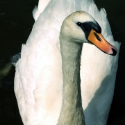 Just another swan.