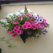 Hanging basket June 27th 2009