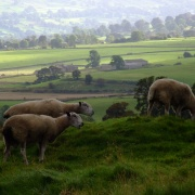 Sheep graze by Bolton Castle