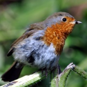 Robin eating a bug