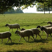 Sheep on the Chatsworth Estate