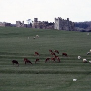 Raby Castle - the deer park