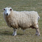 A Romney Marsh Sheep