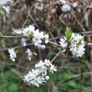Blossom at Boddington Reservoir