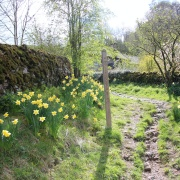 Daffodils in picturesque village  Milldale