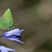 Green Hairstreak Butterfly,Rudge Hill Nature Reserve,near Stroud