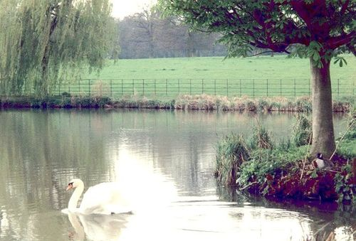 Swans a-swimming on The Vyne Estate