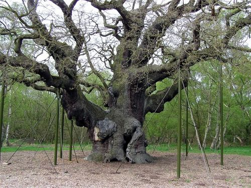 The Great Oak, Sherwood Forest