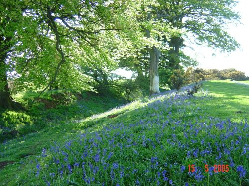 Bluebells at Borough Hill, Daventry, Northamptonshire