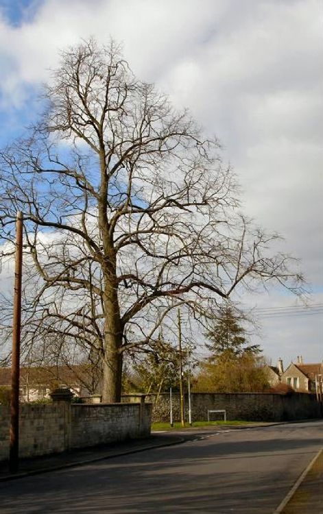 Tree on Corner of St. Thomas' Road from Victoria Road