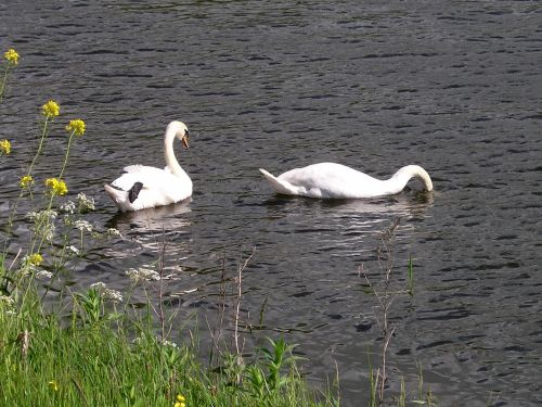 Swans, River Ribble at West Bradford, Lancashire