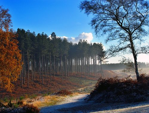 Pines near old shooting butts, Cannock Chase, Staffordshire