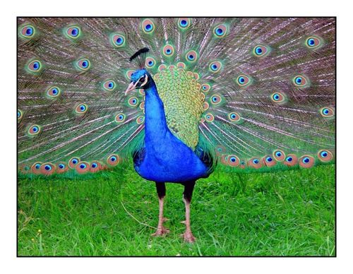 Peacock in the Duncombe Park, Helmsley, North Yorkshire