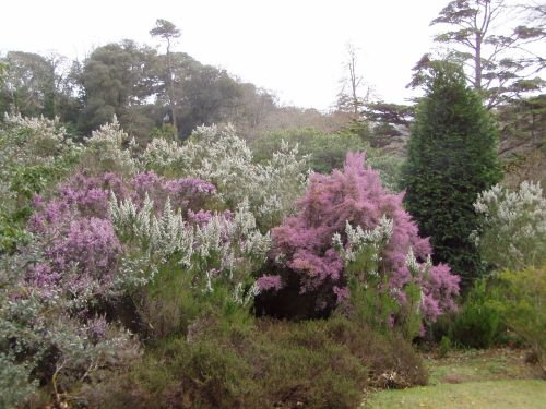 Glendurgan Gardens, in Cornwall.  Tree Heather in flower in March