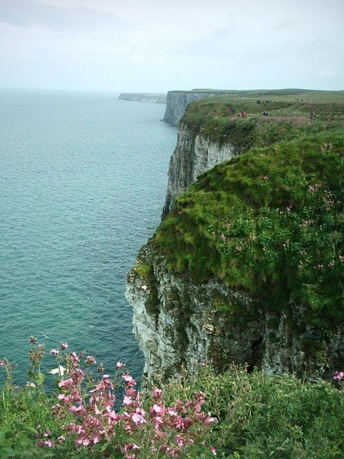 Summer at Bempton Cliffs, E. Yorkshire.