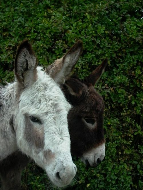 very friendly New Forest Donkeys