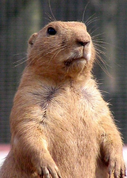 Twycross Zoo, Leicestershire. Prairie Dog