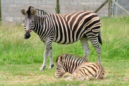 Zebra, Marwell Zoo, Hampshire