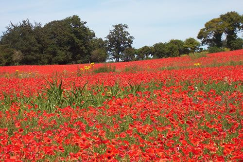 Poppies in a field near Wye, in Kent