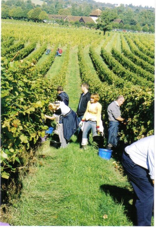 Grape picking in Denbies Vineyard near Dorking in Surrey