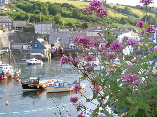 Seen growing on walls all over Cornwall, red valerian is a wild flower, here at Mevagissey