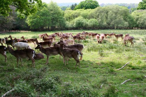 Deer, Bolderwood, Hampshire