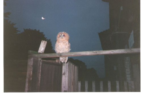 A tawny Owl visits my garden a few years ago. In Worksop, Nottinghamshire