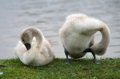 Cygnets at Hatchet Pond