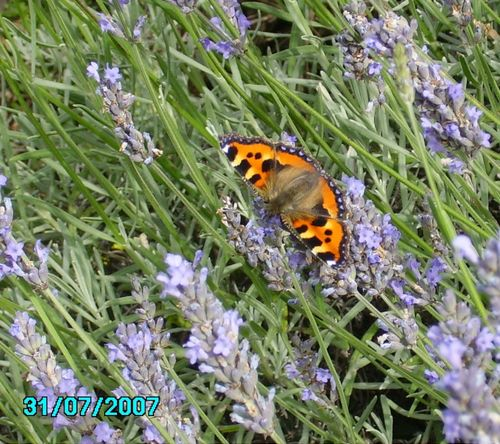 Butterfly in Worksop, Nottinghamshire