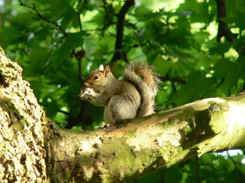 Grey Squirrell in Hyde Park, Kensington, London
