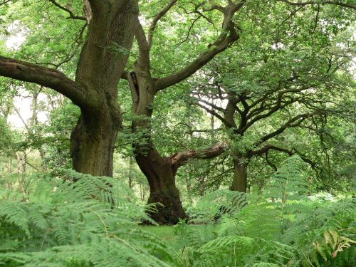 Ancient forest near Brocton, Cannock Chase, Staffordshire