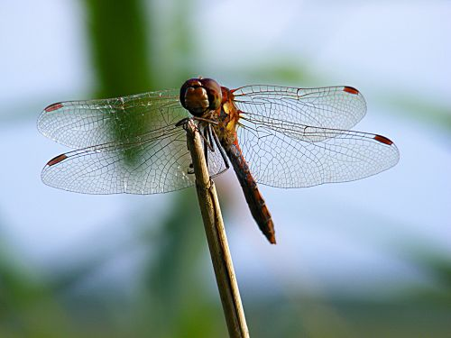 A Dragonfly at Ludham, Norfolk.