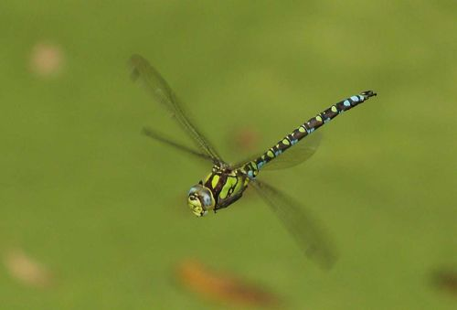Dragonfly in flight, near Hillesden, Buckinghamshire