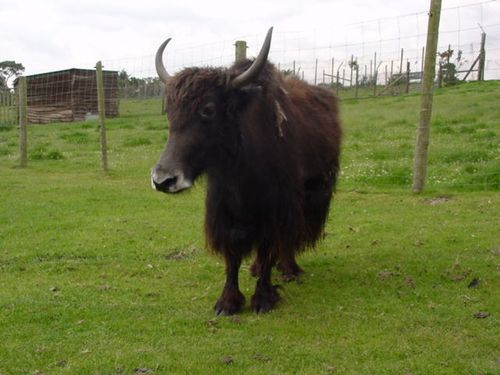A Yak at West Midlands Safari Park