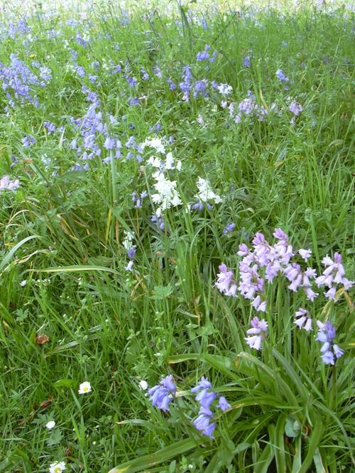 Bluebells (and pink and white) in Belton House grounds in Belton, Lincolnshire